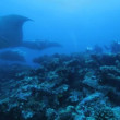 Many mantas on Ari-Atoll manta point with divers — Stock Video