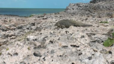 Cuban rock iguana (Cyclura nubila) in the wild, Cayo Largo — Stock Video