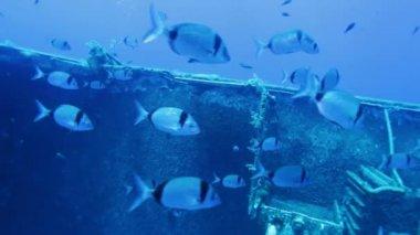 Zenobia naufragio con la escuela de pequeños peces plata, chipre — Vídeo de stock