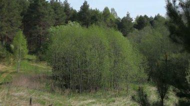 Verde fresco da primavera de floresta, região de yaroslavl, rússia — Vídeo Stock