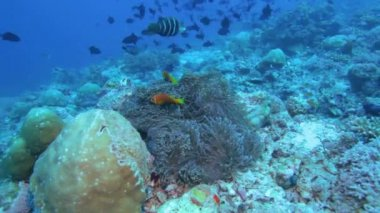 Maldive anemonefish (Amphiprion nigripes) in a sea anemone — Stockvideo