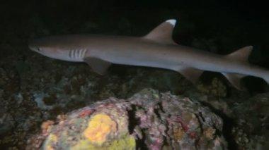 Whitetip reef shark (Triaenodon obesus) at night, Maldives — Stock Video