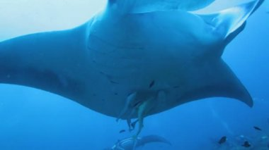 Close-up movie of swimming big manta — Stock Video