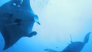 Mantas (Manta birostris) crossing, Maldives — Stock video