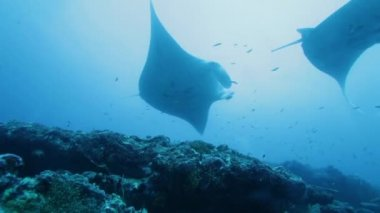 Mantas (Manta birostris) swimming together, Maldives — Stock Video #13633755