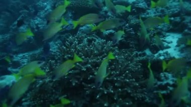 School of bluestripe snappers (Lutjanus kasmira) — Stock Video #13633829