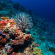 SeLilie on Tropical Coral Reef — Stock Photo #13737395