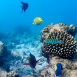 Ecosystem of Tropical Coral Reef, Maldives — Stock Photo #13737401