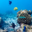 Ecosystem of Tropical Coral Reef, Maldives — Stock Photo
