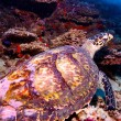 Sea Turtle on Coral Tropical Reef — Stock Photo