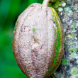 Closeup of Cacao Bean from Chocolate Tree - Stock Photo