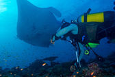 Big Manta Ray and Scuba Diver — Stock Photo