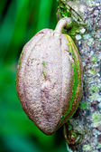 Closeup of Cacao Bean from Chocolate Tree — Stock Photo