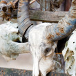 Animall Water Bull Scull with Horns, Komodo - Stock Photo