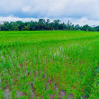Landscape with Rice Field and Jungle, Bali — Stock Photo