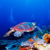 Green Sea Turtle near Coral Reef, Bali — Stock Photo