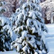 Snowy Pine Tree — Stock Photo