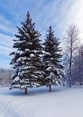 Snowy Two Pine Trees — Stock Photo