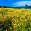 Yellow Mustard Field — Stock Photo