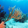 Soft Corals near Cayo Largo, Cuba — Stock Photo #37646081