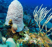 Soft Corals near Cayo Largo, Cuba — Stock Photo
