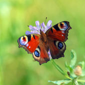 Closeup of Red Butterfly — Stock Photo