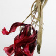 Dried tulips on the white background — Stock Photo