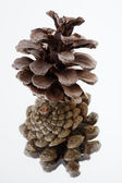 Pine cone on white background — Stock Photo