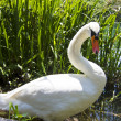 Beautiful swan resting in a pond — Stock Photo