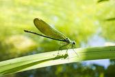 Mooie dragonfly op een blad in een vijver — Stockfoto