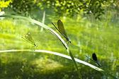 группа красивых стрекоза на листьях в пруду — Стоковое фото