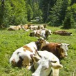 Stock Photo: Lying cow pasture on mountain meadow