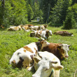 Lying cow pasture on the mountain meadow — Stock Photo