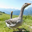 Two happy geese in the mountain - Stock Photo