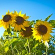 Beautiful sunflowers with bright blue sky — Stock Photo