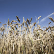 Wheat field in summer — Stock Photo