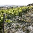Vineyard in tuscany — Stock Photo