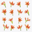 Set of beautiful lilium flowers composite - Stock Photo