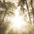 Sunrays though pine forest — Stock Photo