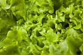 Lettuce close up background — Stock Photo