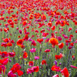 Beautiful bright red poppy flowers field in spring background — Stock Photo