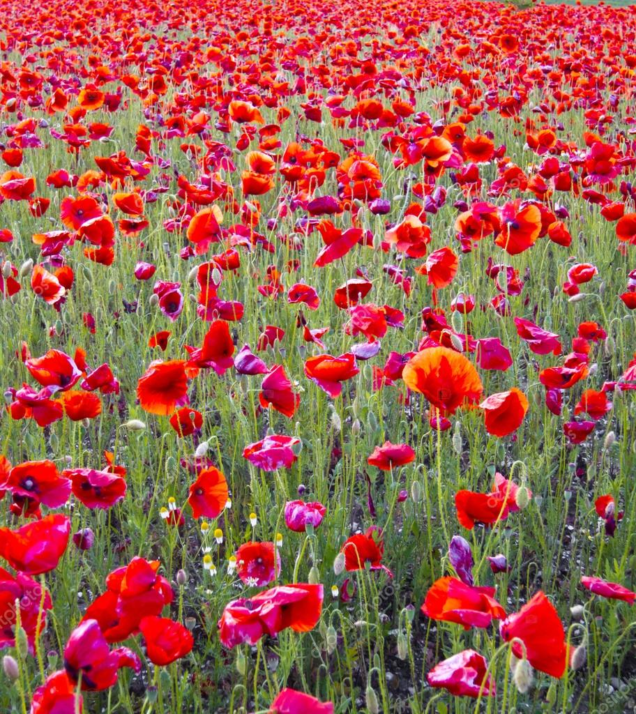 bright red flowers field - photo #20