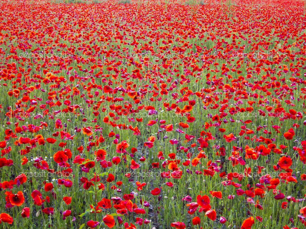 bright red flowers field - photo #9