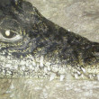 Head of a crocodile — Stock Photo