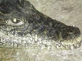 Head of a crocodile — Stock Photo