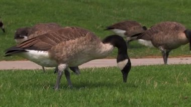 A flock of geese feed on Pittsburgh's north shore.