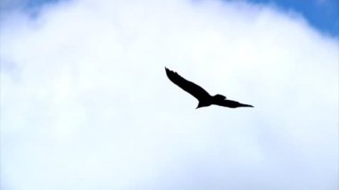 A hawk gently glides through the sky