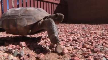 A turtle walks past the camera — Video Stock