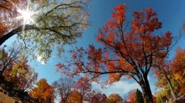 Tall Trees Fall Foliage — Stock Video