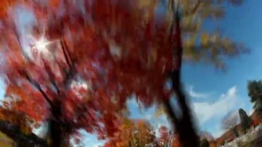 Tall Trees Fall Foliage Timelapse — Stock Video